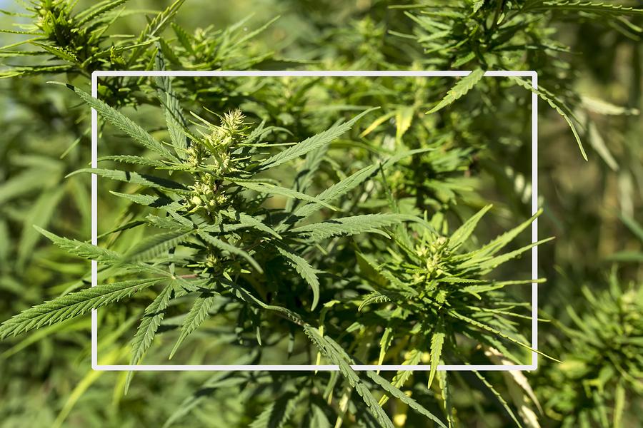 Growing High-CBD Cannabis vs Growing High THC Cannabis