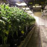 cannabis environment setup