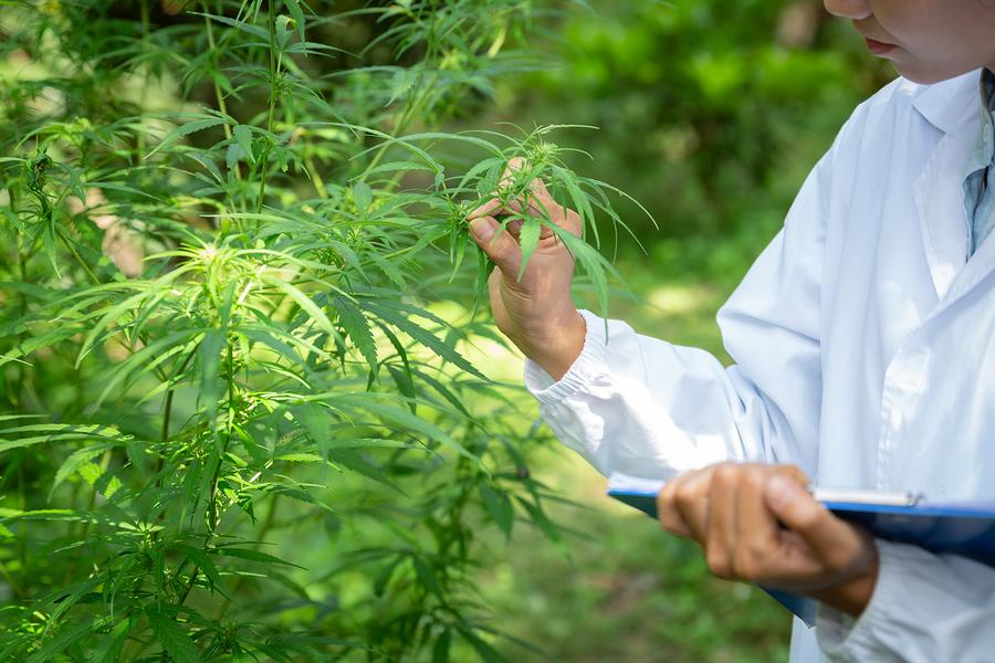 start cannabis flowering stage