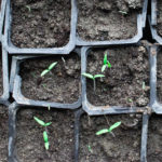common cannabis seedling problems