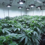 10 Best Cannabis Strains for High Yields