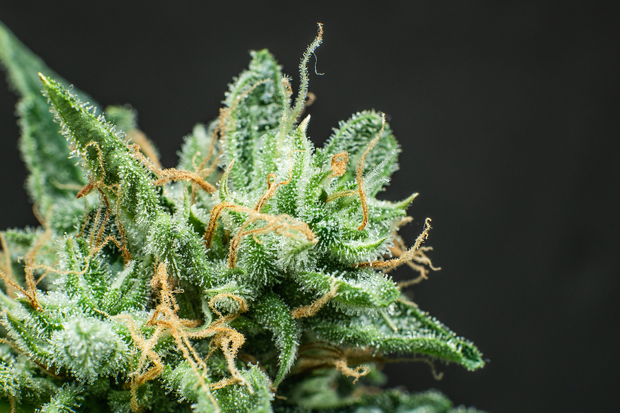 cannabis sugar leaves-what are they?