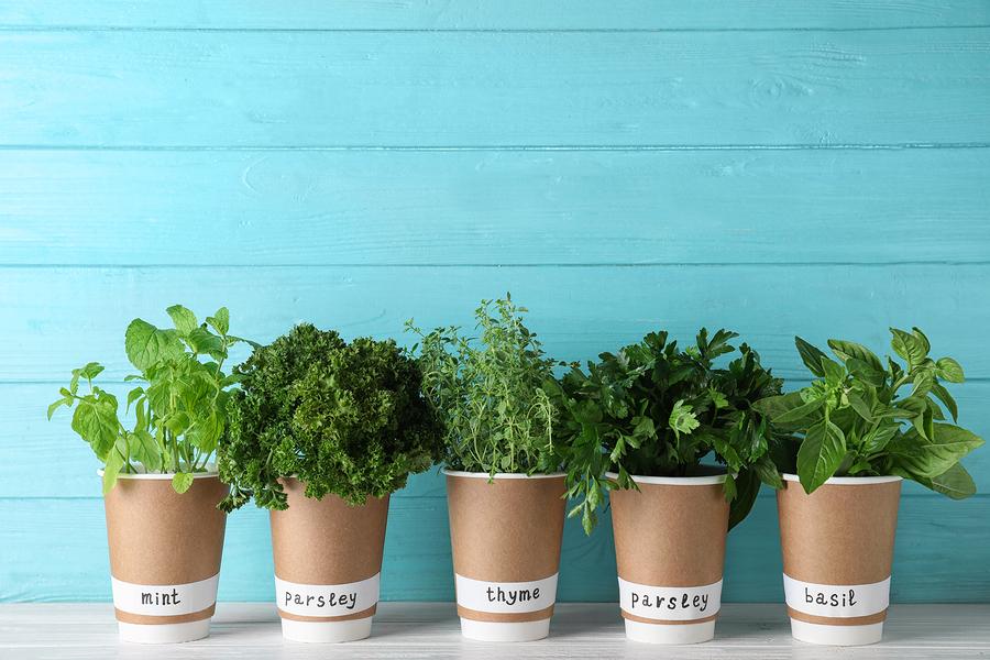 transplant cannabis seedlings