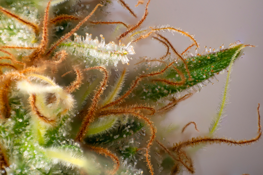 How to Look at Cannabis Trichomes with a Microscope