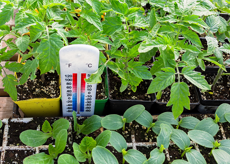 how temperature affects cannabis growth