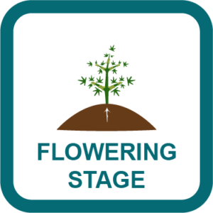 Cannabis flowering stage Guide