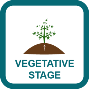 cannabis Vegetative Stage guides