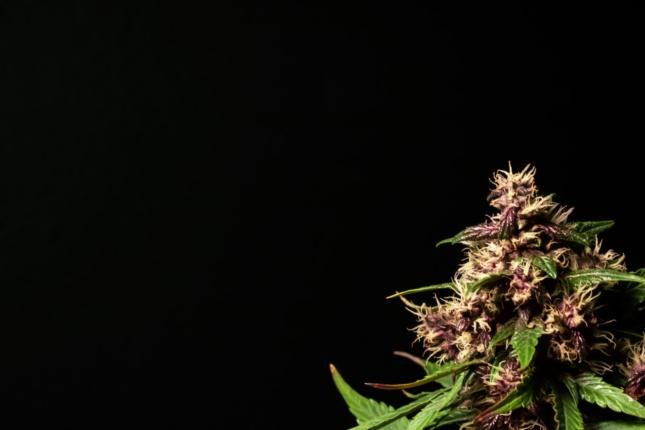 Purple Kush 1