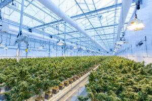 how to start a marijuana grow op